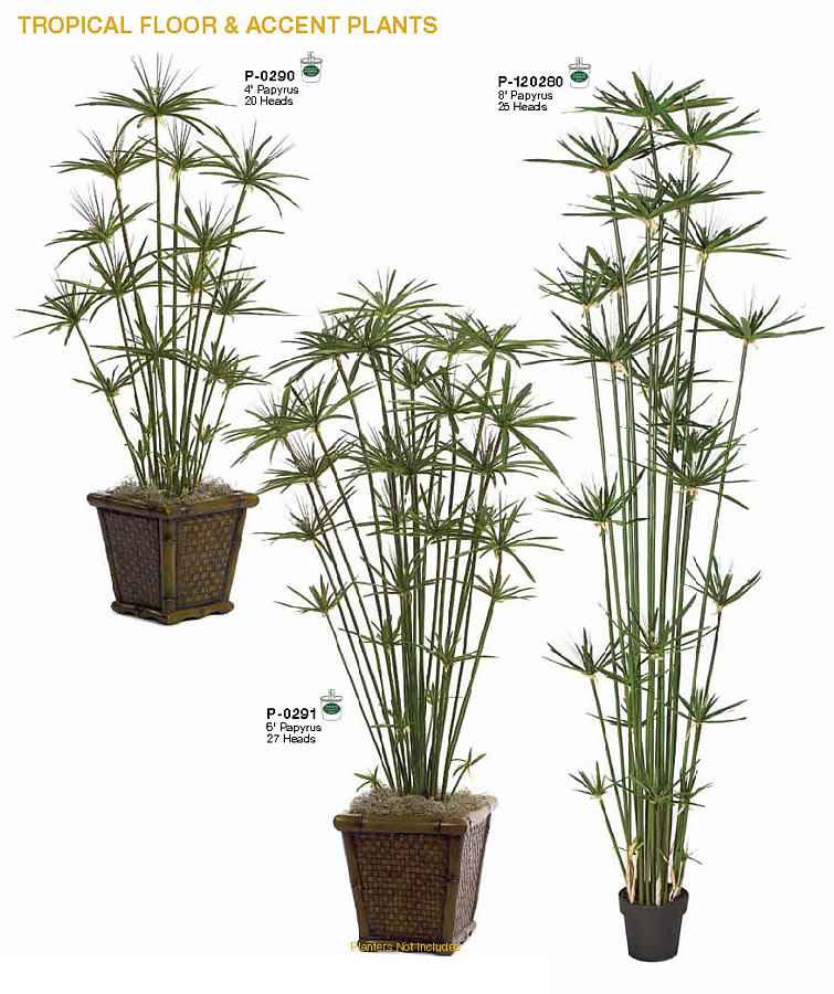 Papyrus Indoor Tall Plants Indoor Tropical Floor Accent Plants