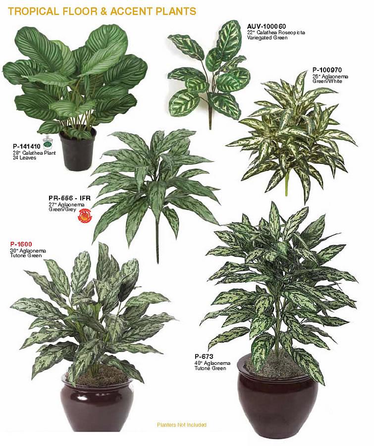 Indoor Green Floor Plants: Indoor Tropical Floor & Accent Plants